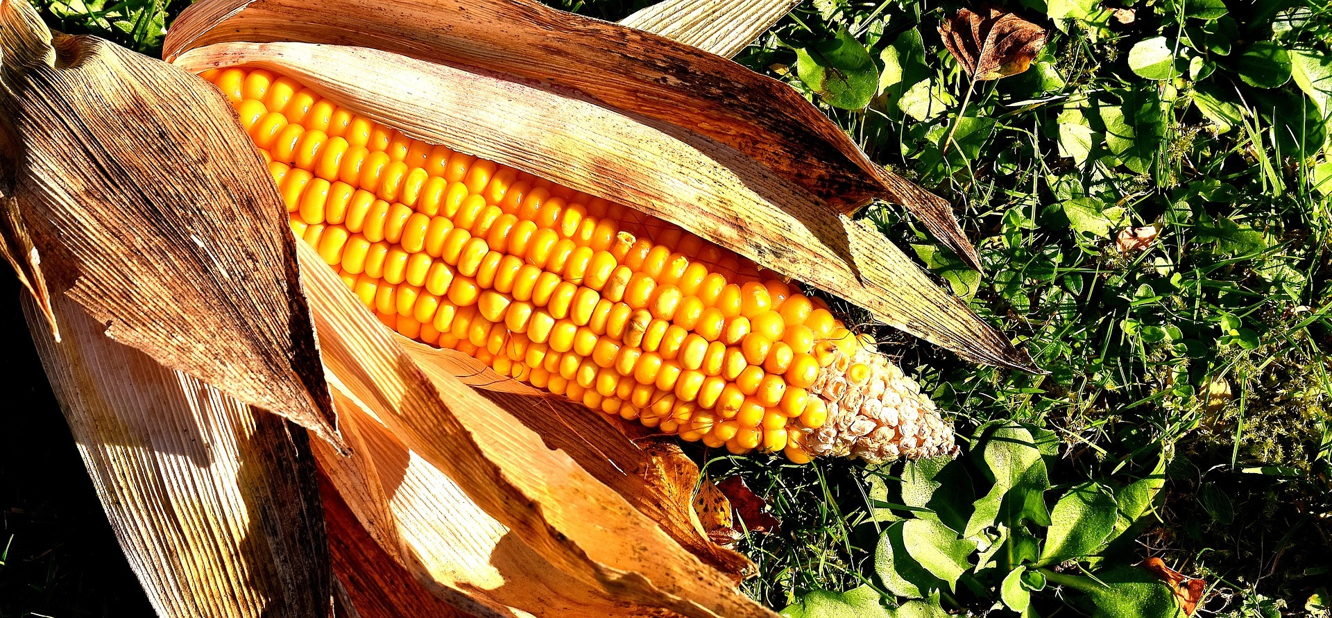 In de moestuin: alles over suiker-, sier- en pofmais